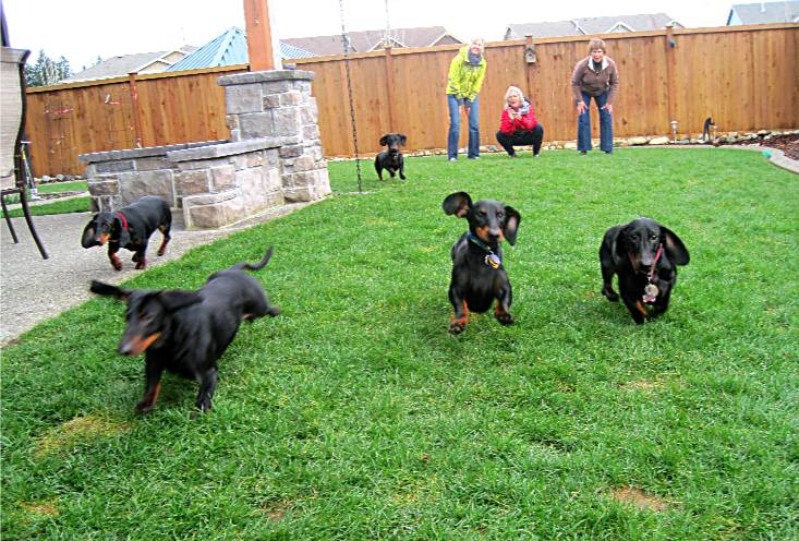 Goodwood Dachshunds litter party
